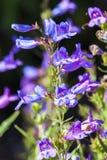 ` Azul celestial do ` do heterophyllus do Penstemon Fotografia de Stock