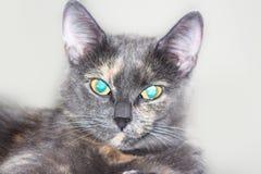 Azul cinzento gato eyed Imagem de Stock Royalty Free