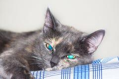 Azul cinzento gato eyed que encontra-se na cama Imagens de Stock
