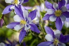 Azul Columbines da flor de estado de Colorado Imagem de Stock Royalty Free