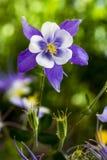 Azul Columbines da flor de estado de Colorado Imagem de Stock