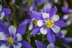 Azul Columbines da flor de estado de Colorado Imagens de Stock Royalty Free