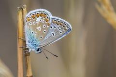 Azul común (Polyommatus Ícaro) Imagen de archivo libre de regalías