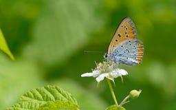 Azul común y x28; Icarus& x29 de Polyommatus; mariposa fotos de archivo libres de regalías