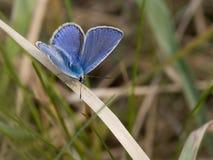 Azul comum Imagem de Stock Royalty Free