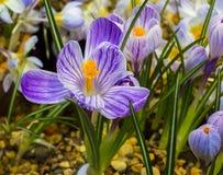 ` Azul da pérola do ` do açafrão Foto de Stock Royalty Free