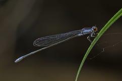 Azul damslefly Fotos de archivo