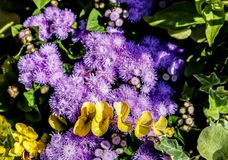Azul Danúbio do Ageratum imagens de stock