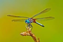 Azul Dasher da libélula imagem de stock royalty free