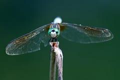Azul Dasher de la libélula Foto de archivo libre de regalías