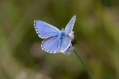 Azul de Adonis Imagen de archivo libre de regalías