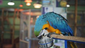 Azul de alimentación de la niña y loro amarillo del Macaw en su mano en el zoo-granja almacen de video