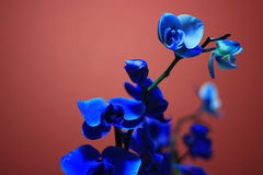 Azul de Bloomin fotos de stock royalty free