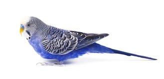 Azul de Budgie, no fundo branco Periquito australiano no crescimento completo Fotografia de Stock