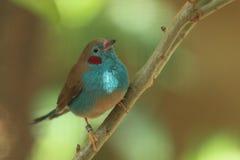 Azul de cordão Vermelho-cheeked Imagens de Stock Royalty Free