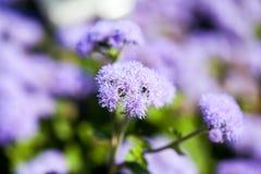 Azul de Houstonianum del Ageratum, planta con las flores Imágenes de archivo libres de regalías