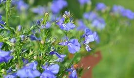 Azul de la flor Foto de archivo libre de regalías