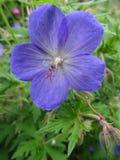 Azul de la flor del geranio salvaje fotografía de archivo