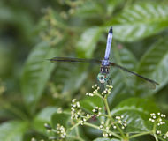 Azul de la libélula Foto de archivo libre de regalías