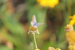 Azul de la mariposa Fotografía de archivo libre de regalías