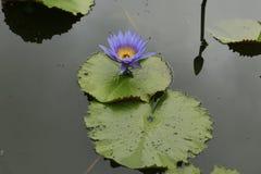 Azul de Lotus Imagens de Stock
