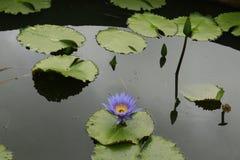 Azul de Lotus Foto de Stock Royalty Free