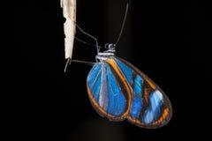 Azul de Mariposa - borboleta azul fotografia de stock royalty free