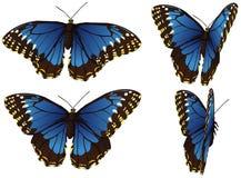 Azul de Morpho Imagem de Stock