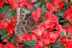 Azul de Morpho (peleides del morpho) en las flores rojas Fotos de archivo