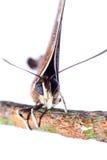 Azul de plata de la raya de la mariposa Imágenes de archivo libres de regalías