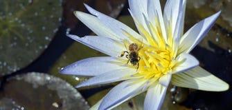 Azul de polinización de la abeja waterlily Foto de archivo