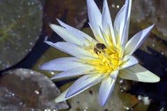Azul de polinización de la abeja waterlily Fotografía de archivo