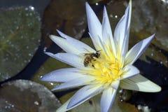 Azul de polinización de la abeja waterlily Fotos de archivo libres de regalías