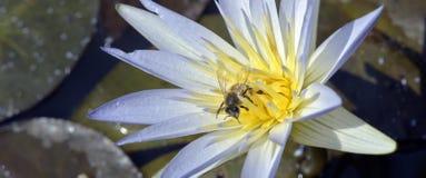 Azul de polinización de la abeja waterlily Imagen de archivo
