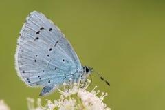 Azul del acebo y x28; Argiolus& x29 de Celastrina; alimentación en cierre hogweed fotografía de archivo libre de regalías