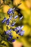Azul del antirrino del jardín Fotos de archivo libres de regalías