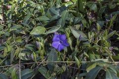 Azul del bígaro Imagenes de archivo