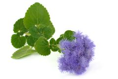Azul do Ageratum Fotografia de Stock