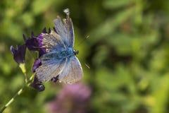Azul do bastão (bastão de Pseudophilotes) Foto de Stock Royalty Free