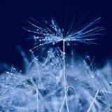 Azul do dente-de-leão Imagens de Stock