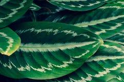 Azul do fundo da listra do pino do ornata de Calathea das folhas fotografia de stock