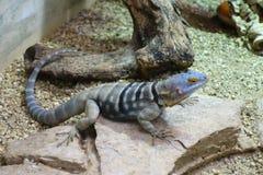 Azul do lagarto Imagens de Stock Royalty Free