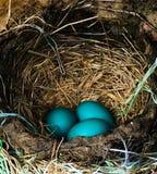 Azul do ovo dos piscos de peito vermelho fotos de stock
