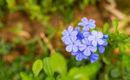 Azul - flores púrpuras foto de archivo libre de regalías