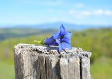Azul gentiana da trombeta imagem de stock royalty free