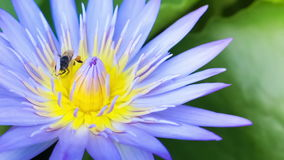 Azul Lotus Flower del enjambre de la abeja metrajes