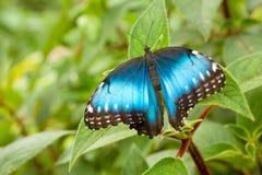 Azul Morpho de Peleides Imágenes de archivo libres de regalías