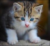 Azul muito bonito um gatinho eyed Fotos de Stock Royalty Free
