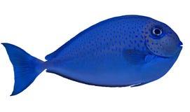 Azul pequeno peixes manchados isolados no branco imagem de stock royalty free