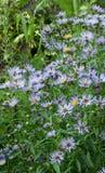 Azul perenne del aster Fotografía de archivo